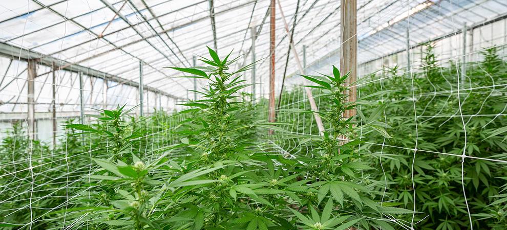 Coltivazione di cannabis light a Sanremo